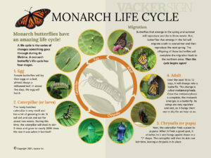 Standard Monarch life cycle interpretive sign